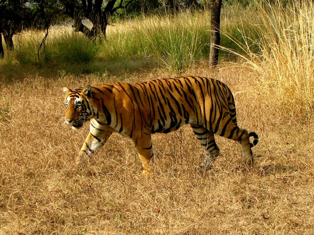 essay on wildlife of india 2101 words essay on wildlife conservation in india wildlife conservation encompasses all human activities and efforts directed to preserve wild animals from extinction it involves both protection and scientific essays on wildlife conservation efforts in india - essay depot free essays on wildlife conservation efforts in indiaget help with your writing 1 through 30 wildlife.