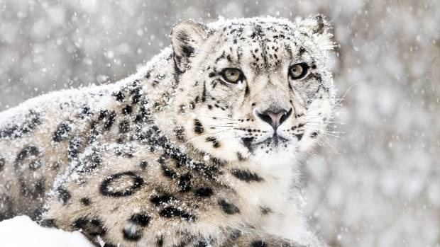 Enjoy Watching Snow Leopard
